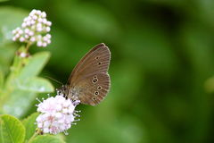 Farfalla di imperatore del Hackberry fotografie stock libere da diritti