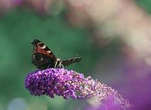 Farfalla di Io del Inachis su un Buddleia del cespuglio di farfalla Immagine Stock