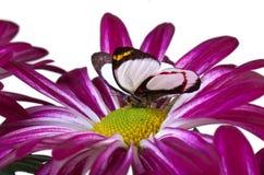 Farfalla di isocharis di Delias Fotografia Stock Libera da Diritti