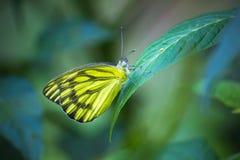 Farfalla di Jezabel dell'indiano Fotografia Stock