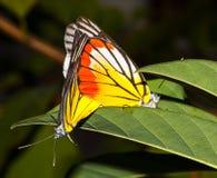 Farfalla di Jezabel dipinta due sulla foglia Fotografia Stock Libera da Diritti