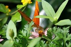 Farfalla di Julia Fotografia Stock Libera da Diritti