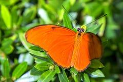 Farfalla di Julia che riposa su alcune foglie fotografie stock