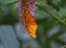 Farfalla di Julia Heliconian Fotografia Stock