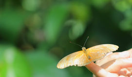 Farfalla di Julia (iulia del Dryas) Immagine Stock Libera da Diritti