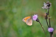 Farfalla di jurtina di Maniola Immagine Stock Libera da Diritti