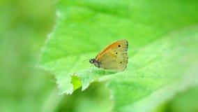 Farfalla di jurtina di Maniola Fotografia Stock