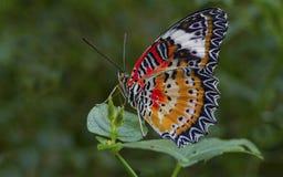 Farfalla di Lacewing del Malay Fotografie Stock
