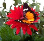 Farfalla di Lacewing del Malay Fotografia Stock