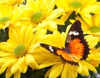 Farfalla di Lacewing del Malay Fotografie Stock Libere da Diritti