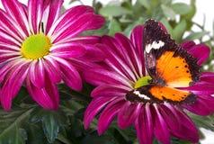Farfalla di Lacewing del Malay Immagini Stock Libere da Diritti