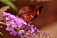 Farfalla di Leafwing, bisaltide di Doleschallia fotografia stock