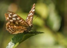 Farfalla di legno macchiata Fotografia Stock