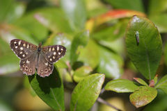 Farfalla di legno macchiata Immagini Stock Libere da Diritti