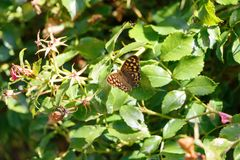 Farfalla di legno macchiata su una foglia Fotografie Stock Libere da Diritti