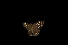 Farfalla di legno macchiata sul nero Fotografia Stock Libera da Diritti