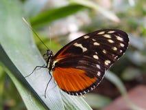 Tiger Longwing Butterfly Fotografia Stock Libera da Diritti