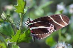 Farfalla di Longwing della zebra - 3 Fotografia Stock