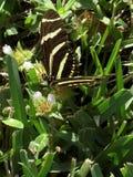 Farfalla di Longwing della zebra che raccoglie Nectar Side View Immagini Stock