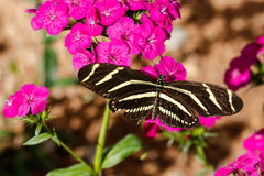 Farfalla di Longwing della zebra sui fiori rosa Immagini Stock