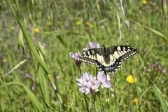 Farfalla di Macaone che riposa su un fiore della cipolla selvatica La Sardegna, m. Fotografie Stock