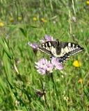 Farfalla di Macaone che riposa su un fiore della cipolla selvatica La Sardegna, m. Immagine Stock Libera da Diritti