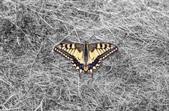 Farfalla di Machaon Fotografie Stock