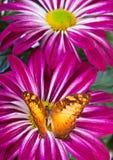 Farfalla di macromalayana di egista di Vagrans Fotografie Stock Libere da Diritti