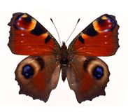 Farfalla di Makhaon Immagine Stock
