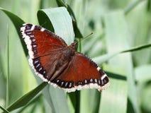 Farfalla di mantello di dolore Fotografia Stock