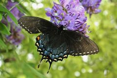Farfalla di mantello di dolore Fotografie Stock Libere da Diritti