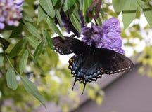Farfalla di mantello di dolore Fotografia Stock Libera da Diritti