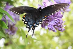 Farfalla di mantello di dolore Immagini Stock