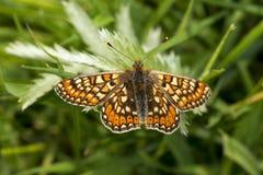 Farfalla di Marsh Fritillary, aurinia di Euphydryas Fotografie Stock Libere da Diritti