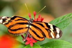 Farfalla di Mechanitis sui fiori rossi di lanceolata di Pentas Immagine Stock