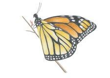 Farfalla di Monach Fotografia Stock