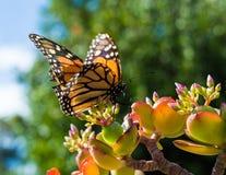 Farfalla di Monach che si siede su Jade Plant Fotografie Stock