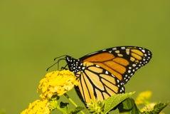 Farfalla di Monach con backgrand verde Fotografia Stock