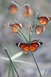 Farfalla di Monach dell'Africano Immagini Stock Libere da Diritti