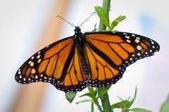 Farfalla di monarca Fotografia Stock
