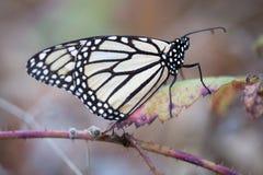 Farfalla di monarca appollaiata su una foglia asciutta Fotografia Stock