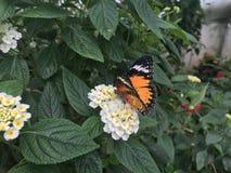 Farfalla di monarca arancio su un fiore bianco immagini stock libere da diritti