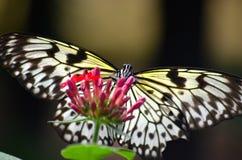 Farfalla di monarca bianca Immagini Stock Libere da Diritti