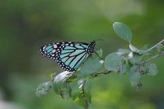 Farfalla di monarca blu Immagine Stock