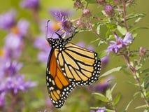Farfalla di monarca che impollina un aster di Nuova Inghilterra fotografia stock