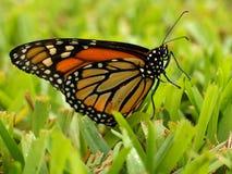 Farfalla di monarca che posa nell'erba Fotografie Stock