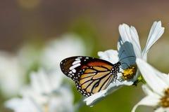 Farfalla di monarca che riposa su un fiore bianco Fotografia Stock Libera da Diritti