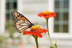Farfalla di monarca che si alimenta su uno Zinnia Immagine Stock