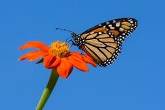 Farfalla di monarca che si alimenta sul fiore di zinnia fotografia stock