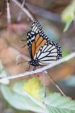 Farfalla di monarca che tiene sopra ad un gambo con le ali chiuse Fotografie Stock